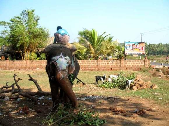 Goa Elefant mit Junge
