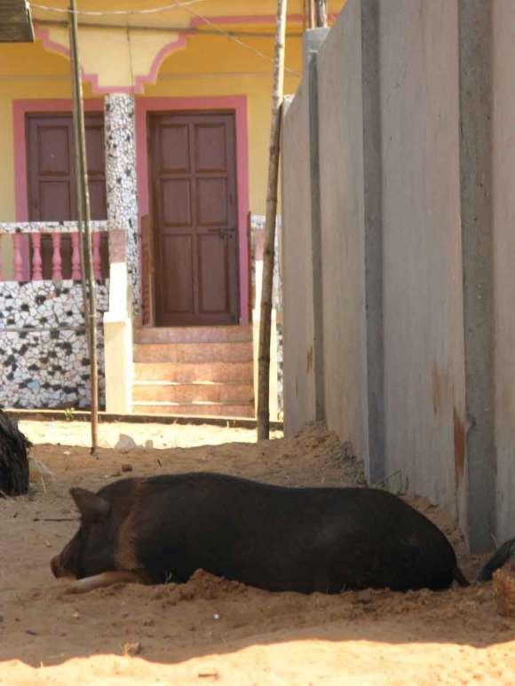 Goa Hausschwein