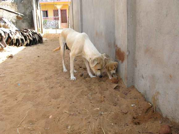 Goa Strandhunde