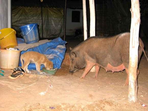 Hund und Hausschwein