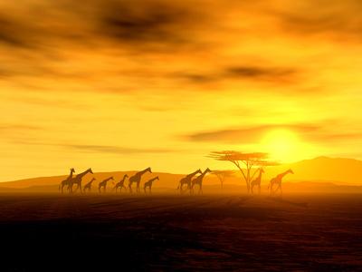 Giraffen auf der Wanderung durch die weiten Steppen