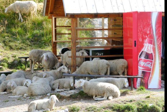 Schafe am Kiosk,Vrsic-Pass, Triglav-Nationalpark, Julische Alpen, Slowenien