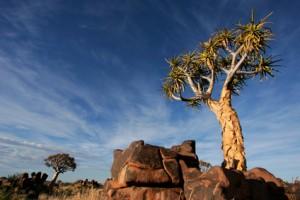 Eine Aloe dichotoma im Etosho Nationalpark