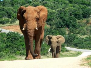 Elephanten in Kenia