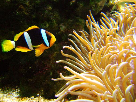 Anemonenfisch Clownfish