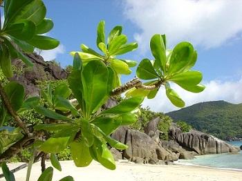 Strand Pflanze Seychellen