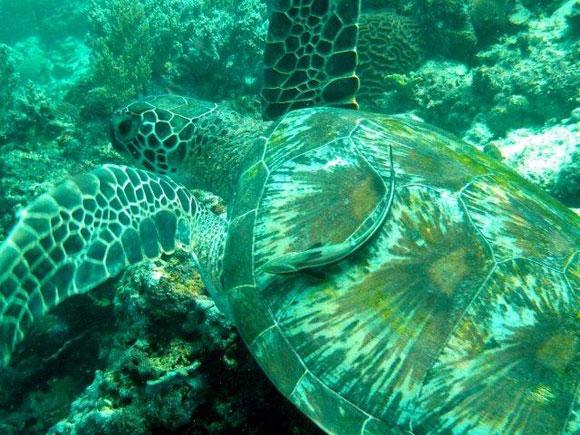 """Eine Wasserschildkröte - Apo Island hat den Ruf als """"Turtle Paradise"""" und man kann direkt in Strandnähe leicht viele Wasserschildkröten sichten."""
